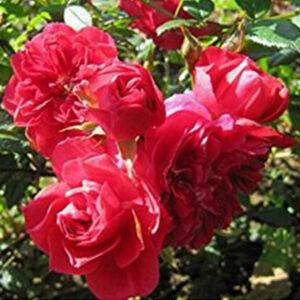Rosa 'Kisses of Fire' - Piros climber, futó- kúszó rózsa