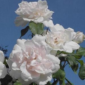 Rosa 'Madame Alfred Carrière' - krém, rózsaszín árnyékolás történelmi - noisette rózsa