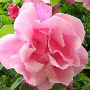 Rosa 'Madame Grégoire Staechelin' - Világos rózsaszín rambler, futó- kúszó rózsa