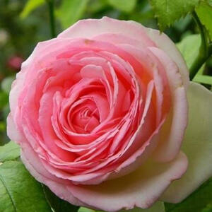 Rosa 'Meiviolin' - Rózsaszín futórózsa