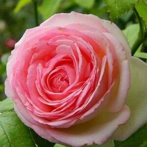 Rosa 'Meiviolin' - rózsaszín színű, nyíláskor fehér sziromfonák climber, futó rózsa