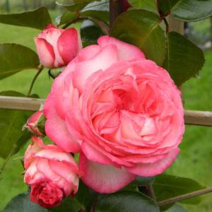 Rosa 'Antike 89™' - piros szegélyű, fehér climber, futó rózsa