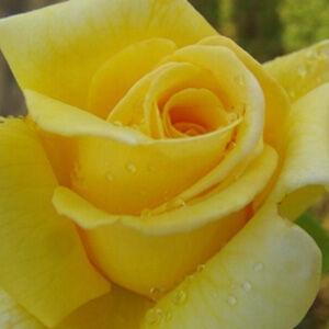 Rosa 'Royal Gold' - Sárga futórózsa