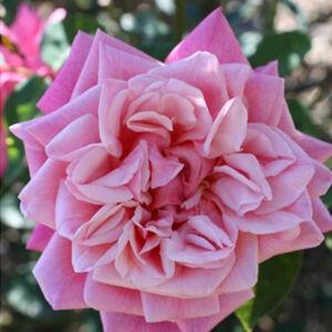 Rosa 'Souvenir de J. Mermet' - Rózsaszín rambler, futó- kúszó rózsa