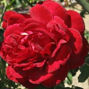 Rosa 'Thor' - Mélyvörös climber, futó- kúszó rózsa