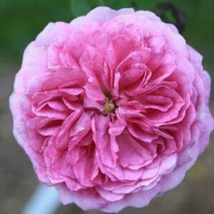Rosa 'Geschwinds Orden' - sötét rózsaszín, fehér külső szirmokkal történelmi - régi kerti rózsa