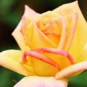 Rosa 'Gold Crown®' - Halvány sárga - teahibrid rózsa