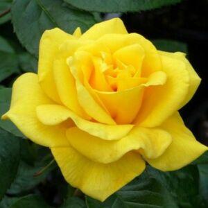 Rosa 'Golden Wedding' - sárga virágágyi floribunda rózsa