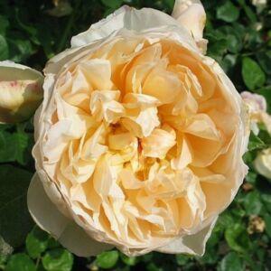 Rosa 'Jayne Austin' - Sárga angol rózsa