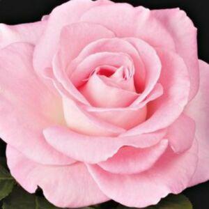Rosa 'Kanizsa' - Rózsaszín - teahibrid rózsa