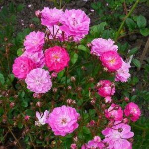 Rosa 'Kodály Zoltán' - lilás-rózsaszínes, fehér középponttal virágágyi polianta rózsa