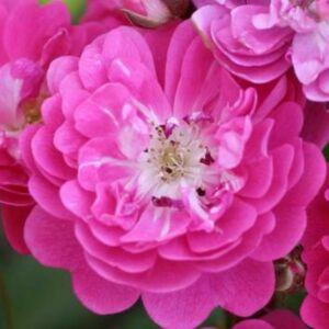 Rosa 'Lippay János' - bíbor virágágyi polianta rózsa