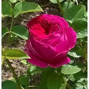 Rosa 'Macbeth' - sötét karmazsin, sötét rózsaszín fonákkal angol rózsa