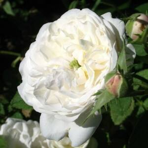 Rosa 'Madame Hardy' - Fehér - centifolia rózsa