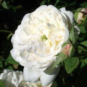 Rosa 'Madame Hardy' - fehér történelmi - centifolia rózsa