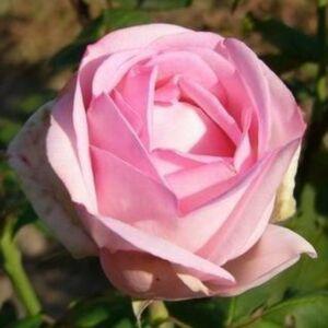 Rosa 'Madame Maurice de Luze' - kármin-rózsaszín, piros középpel teahibrid rózsa