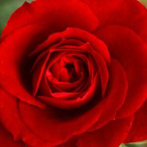 Rosa 'Marjorie Proops' – Sötétpiros - teahibrid rózsa