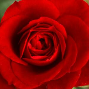 Rosa 'Marjorie Proops' - sötét piros teahibrid rózsa