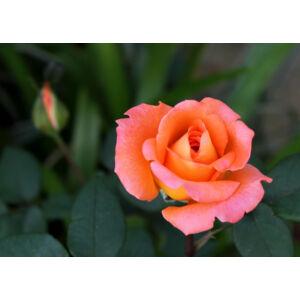 Rosa 'Meinuzeten' - narancsvörös, aranysárga keverékkel teahibrid rózsa
