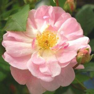 Rosa 'Mevrouw Nathalie Nypels' - rózsaszín virágágyi floribunda rózsa