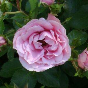 Rosa 'Nagyhagymás' - világos rózsaszín virágágyi floribunda rózsa