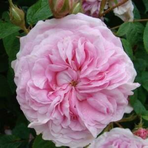 Rosa 'New Maiden Blush' - rózsaszín történelmi - alba rózsa