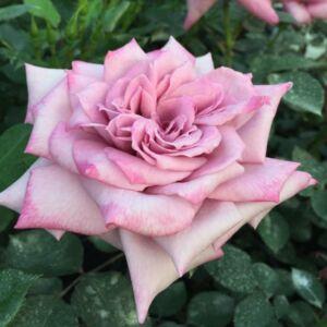 Rosa 'Orchid Masterpiece' - középmályva lila széllel teahibrid rózsa