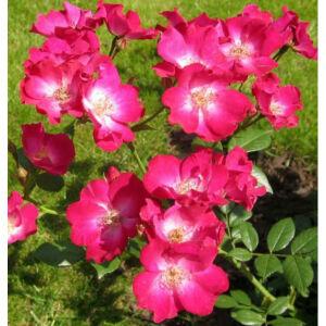 Rosa 'Orléans Rose' - rózsaszín fehér középpel virágágyi polianta rózsa