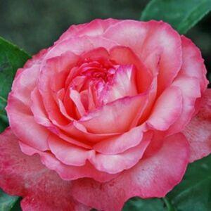 Rosa 'Panthére Rose' - Szirmok rózsaszínek, a szegélyük pedig sötétebb rózsapiros - teahibrid rózsa