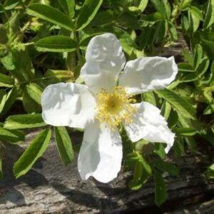Rosa 'Paulii' - fehér vadrózsa