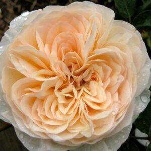 Rosa 'Perdita' - barackos krémszínű angol rózsa