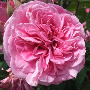 Rosa 'Ausbord' - Rózsaszín romantikus angol rózsa