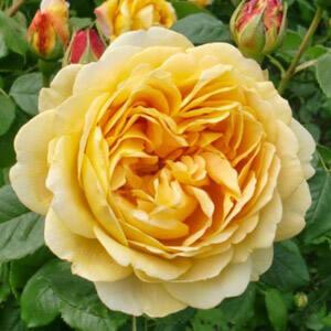 Rosa 'Ausgold' - Mélysárga angol rózsa