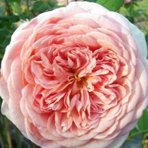 Rosa 'Candy Rain (Abraham Darby)' - Rózsaszín - kajszi - őszibarack színű romantikus rózsa