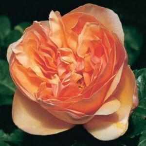 Rosa 'Ellen' - Barackszínű angol romantikus rózsa