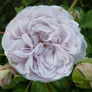 Rosa 'Griselis' - halványlila nosztalgia rózsa