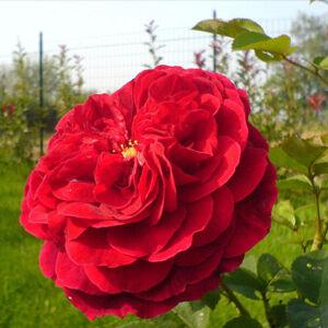 Rosa 'Leonard Dudley Braithwaite' - Sötétpiros romantikus angol rózsa
