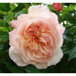 Rosa 'Evelyn' - sárgabarack keverék angol rózsa