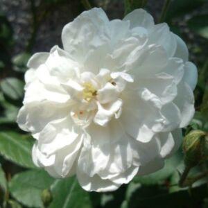 Rosa 'Ausram' - fehér angol rózsa