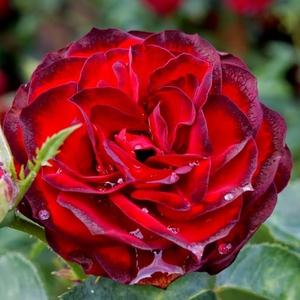 Rosa 'A pesti srácok emléke' - Bársonyos, sötét vérvörös virágágyi floribunda rózsa