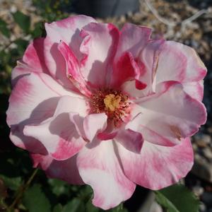 Rosa 'Abigaile ®' - kármin - rózsaszín virágágyi floribunda rózsa