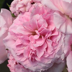 Rosa 'Abrud' - Rózsaszín, halványabb külső szirmokkal parkrózsa
