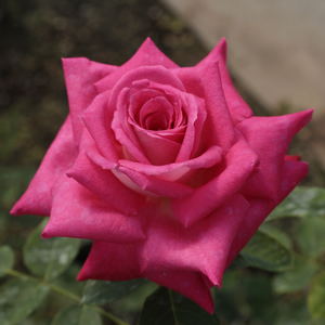 Rosa 'Acapella®' - Sötét rózsaszín, ezüstös fonákkal teahibrid rózsa
