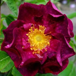 Rosa 'Alain Blanchard' - mályva történelmi - gallica rózsa