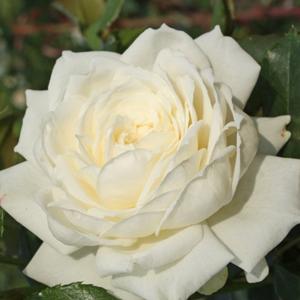 Rosa 'Alaska®' - krémfehér climber, futó rózsa