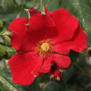 Rosa 'Alpenglühen®' - vörös talajtakaró rózsa