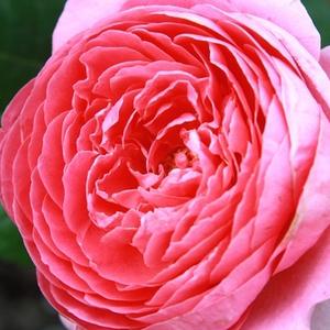 Rosa 'Amandine Chanel' - rózsaszín nosztalgia rózsa