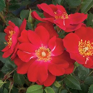 Rosa 'Amulet™' - Élénk vörös virágágyi polianta rózsa