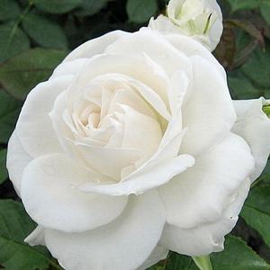 Rosa 'Annapurna' - Fehér teahibrid rózsa