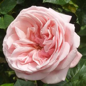 Rosa 'Aphrodite®' - Barack rózsaszín nosztalgia rózsa